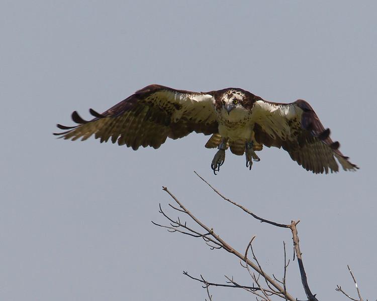 ospreytakeoff-1-2012.jpg