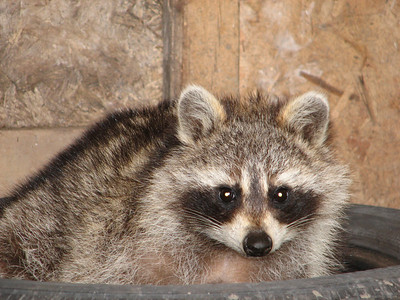 20070414 Raccoon