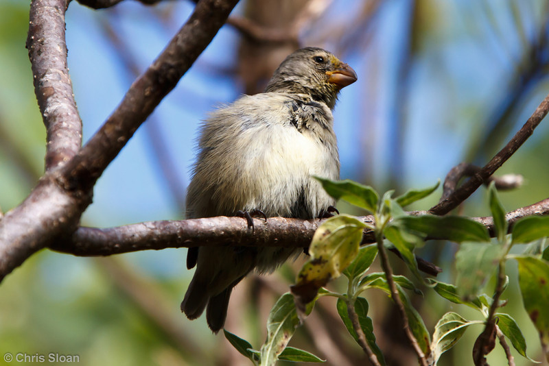 Medium Tree-Finch at Floreana, Galapagos, Ecuador (11-22-2011) - 442.jpg