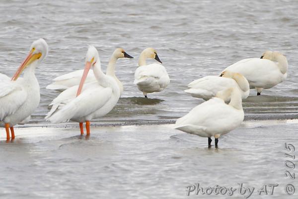 2015-11-25 Riverlands Migratory Bird Sanctuary