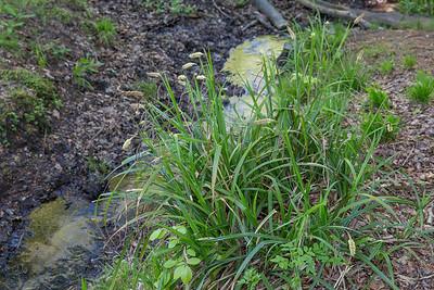 Laîches (Carex)