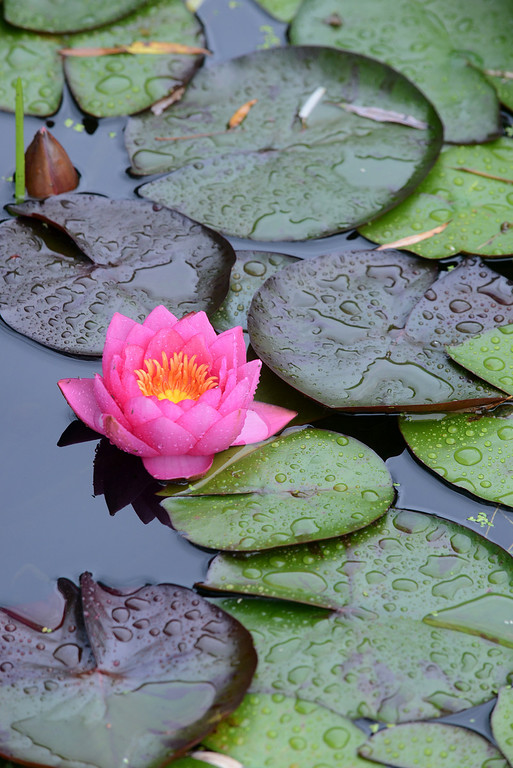 . Tania Barricklo-Daily Freeman Lilies grow in a small pond outside of Shakti Yoga in Woodstock.