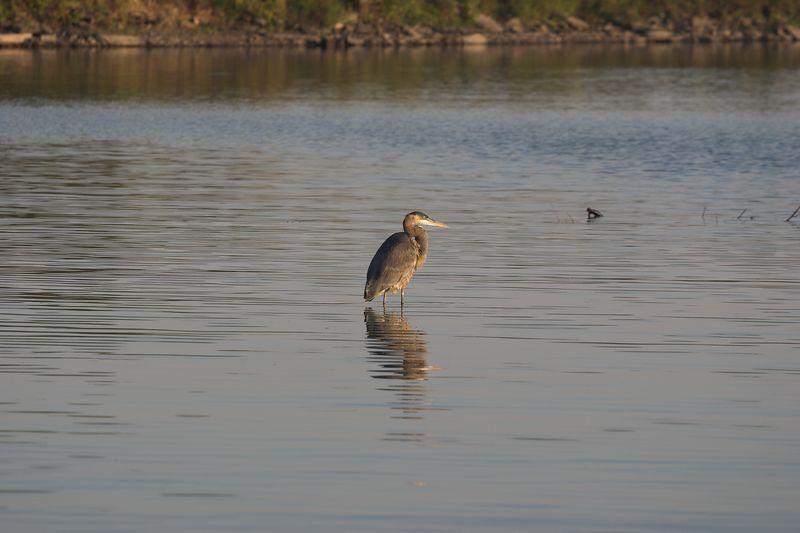 Heron in Mimico Creek