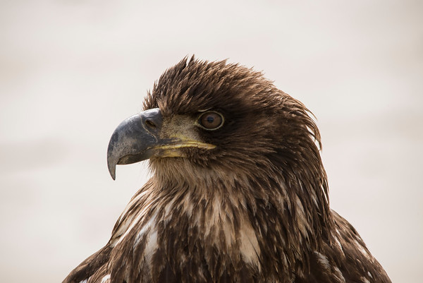 Eagles, Hawks, Owls, Ospreys and other Raptors