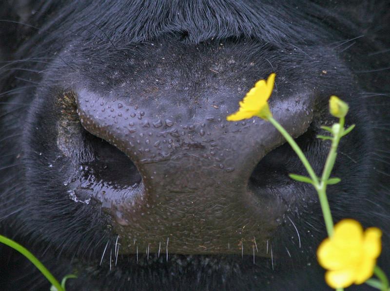Galloway nose