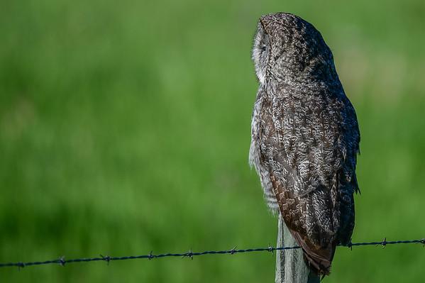 6 2013 Jun 30 Great Gray Owl (Charlies Family)*