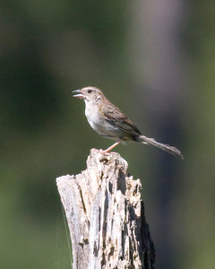 Sparrows and Their Allies