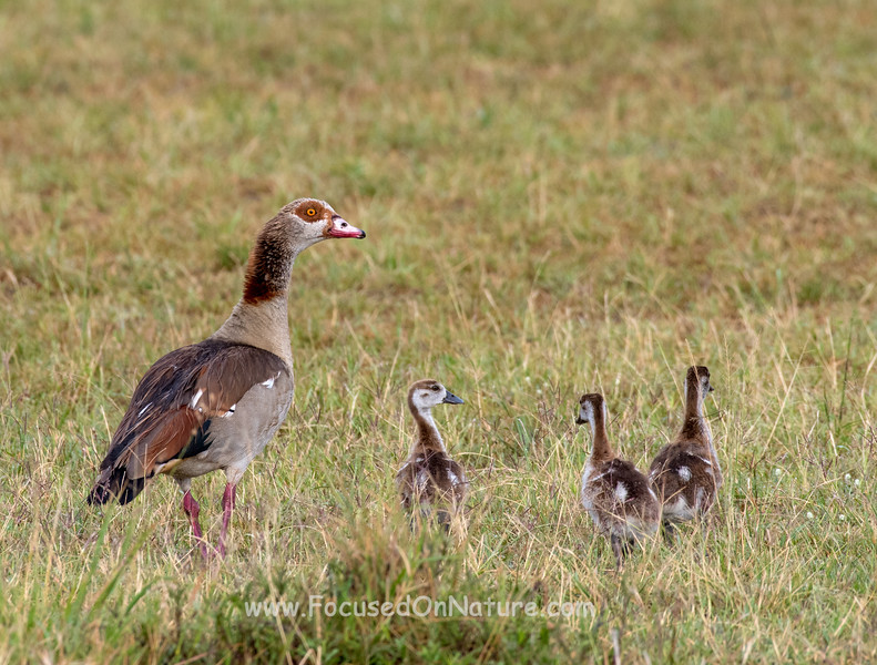 Egyptian Goose and little