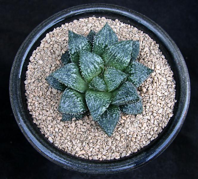 Haworthia Prickly Pete x Bev's Wonder