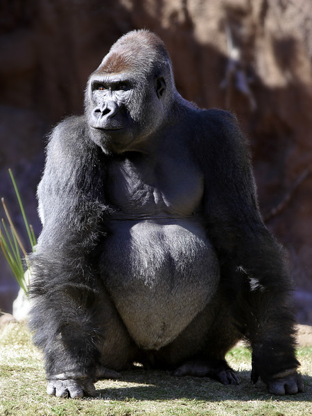 Full body crop of an amazing Silverback. Taken With Canon 5D Mark II and 70-200 2.8 L-Series IS lens. - JohnBrody.com