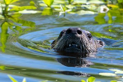 2021_6_15 Otters Part 1