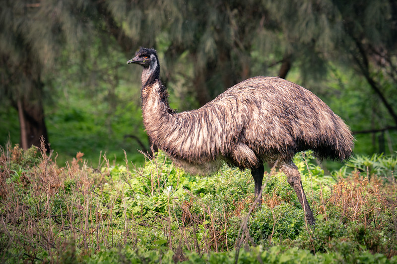 Watchful Emu    Tower Hill Reserve