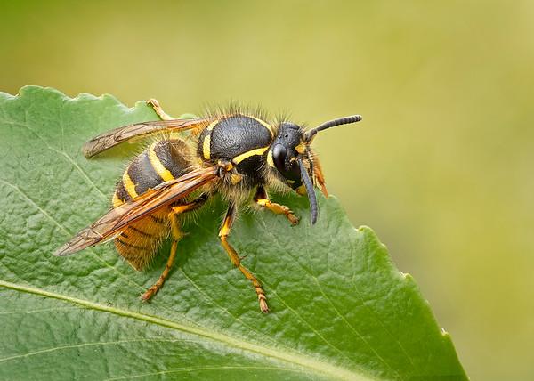 Wasps and Bees