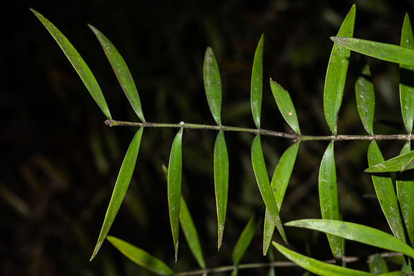 Kauri - Agathis australis
