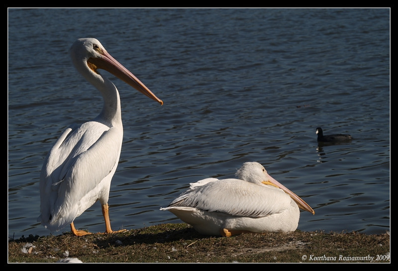 American White Pelicans, Lindo Lake, San Diego County, California, January 2009
