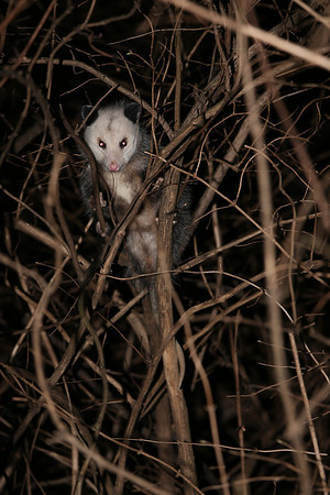 2013-01-29 Possums