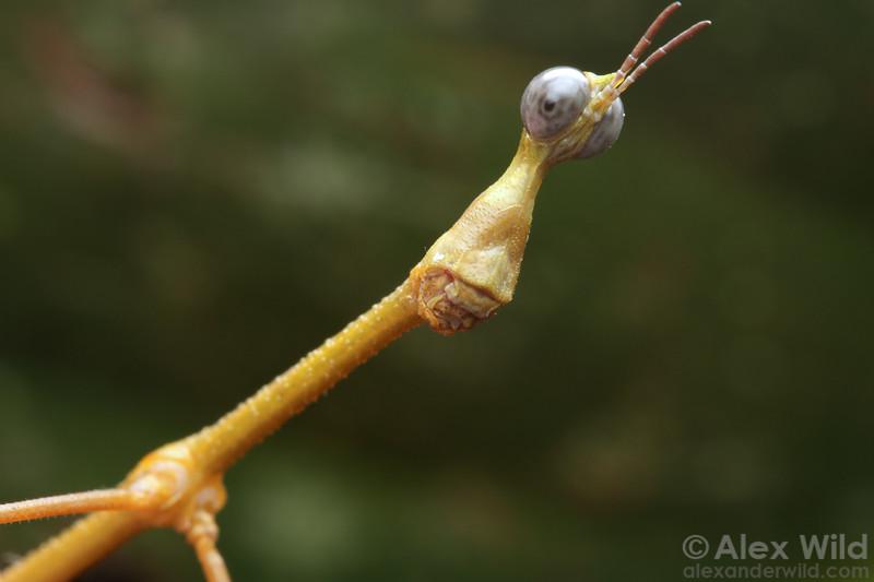 Proscopiidae