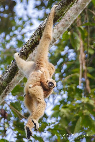 Lar Gibbon (Hylobates lar)