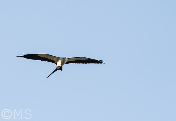 Swallow Tailed Kite Image Gallery