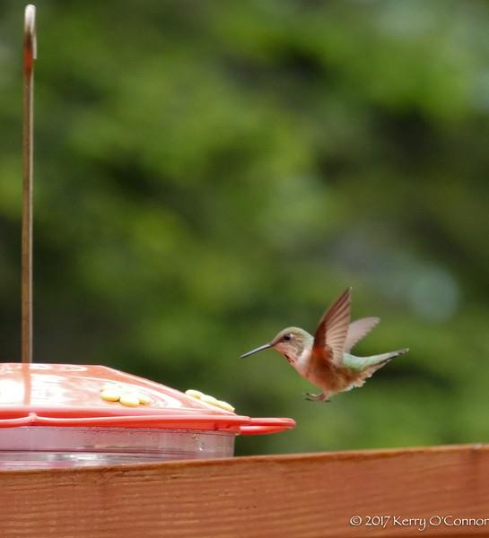 Rufous Hummingbird female
