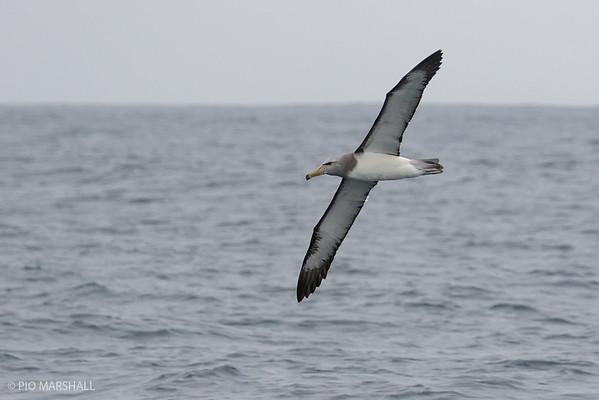 Albatros de Chatham