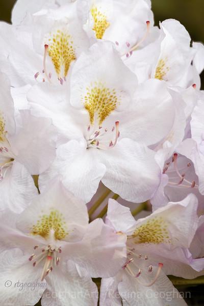 Flowering Shrubs_Rhododendron_0053.jpg