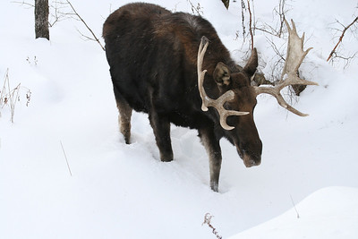 PARC  OMEGA...MOOSE in winter