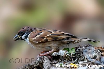 Eurasian Tree Sparrow, Salt Pans, Thailand