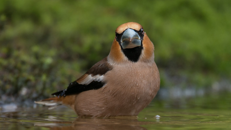Hawfinch, Coccothraustes coccothraustes. Schaijk, The Netherlands.