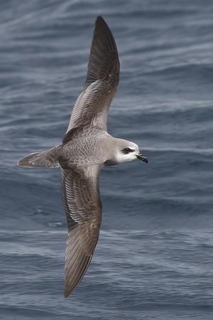 2011 September 04 Eaglehawk Neck Pelagic