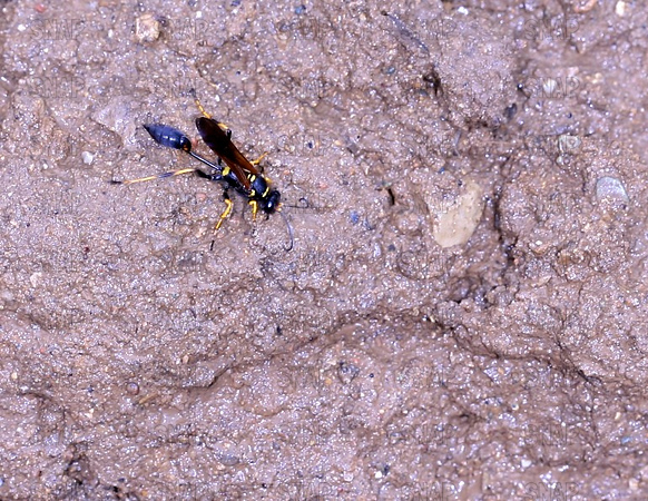 Black and yellow mud dauber (Sceliphron caementarium).