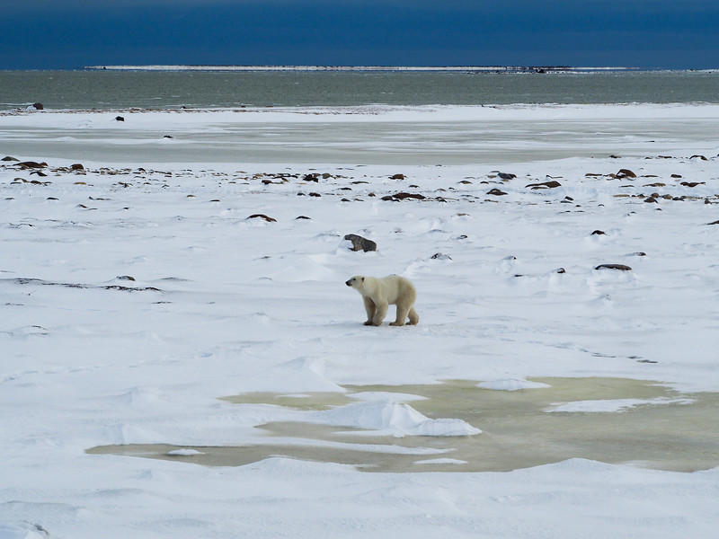 Polar bear at the Hudson Bay