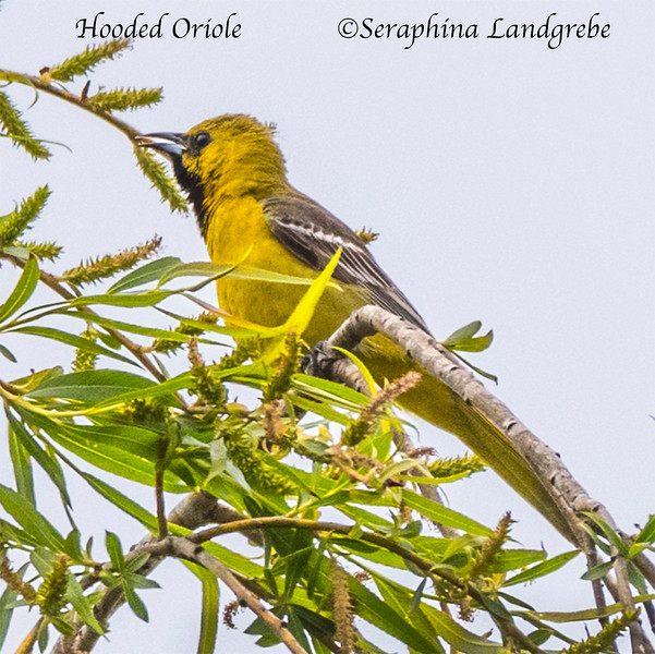 _DSC4811Hooded Oriole.jpg