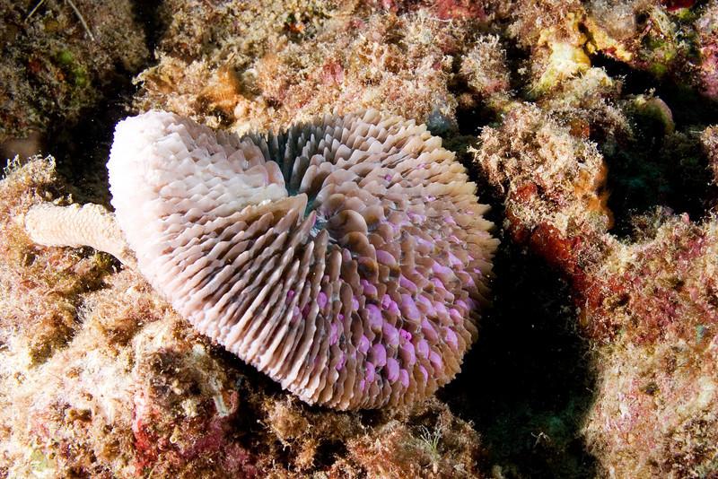 Razor Coral.jpg