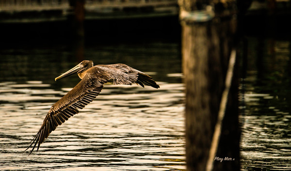 Brown Pelican IF PA_DWL6506.jpg