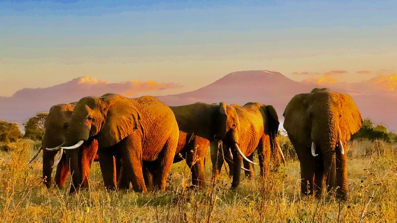 Elephants under Mt. Kilimanjaro