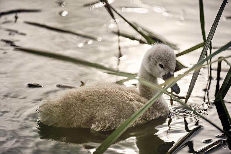Swans_Of_Castletown047.jpg