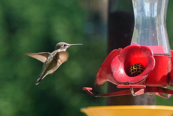 2019 Aug - Hummingbirds