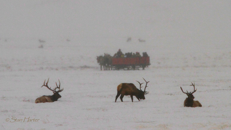 NER Elk Watchers.jpg