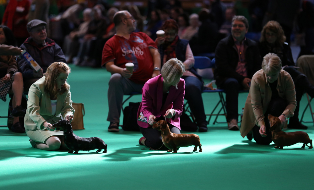 Description of . Dachshund hounds are judged in a show ring on the second day of the Crufts dog show at the NEC on March 7, 2014 in Birmingham, England. Said to be the largest show of its kind in the world, the annual four-day event, features thousands of dogs, with competitors traveling from countries across the globe to take part. Crufts, which was first held in 1891 and sees thousands of dogs vie for the coveted title of 'Best in Show'.  (Photo by Matt Cardy/Getty Images)