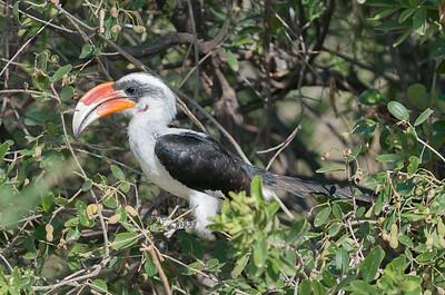 Hornbill, Von der Decken's