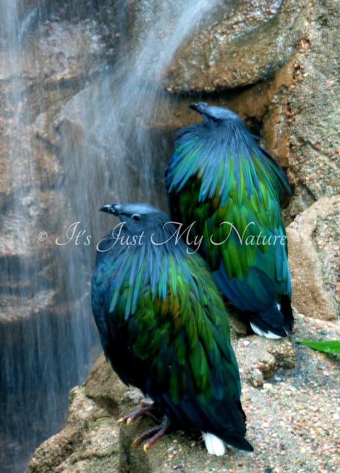 Nikobar Pigeon Pair