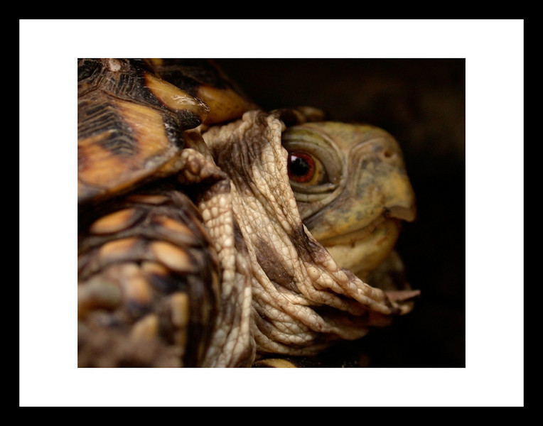 The Grand Turtle Gives Counsel