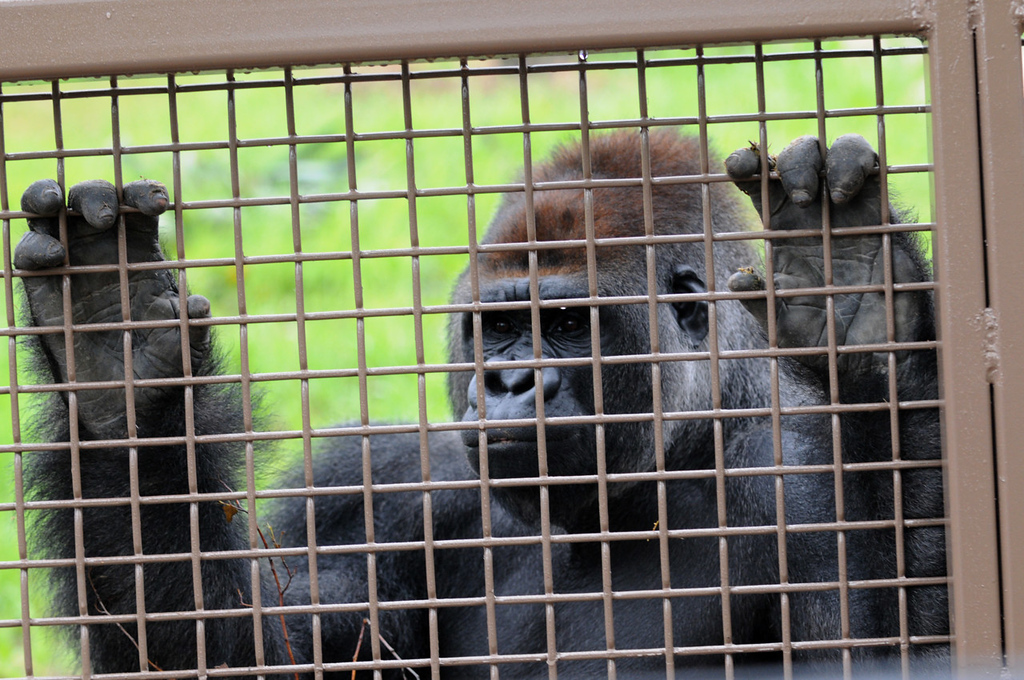 . A gorilla looks out of a mesh door at Gorilla Forest. (Pioneer Press: Jean Pieri)