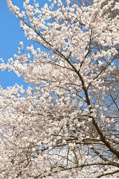 April 14_Branch Brook Cherry Blossoms_7992.jpg