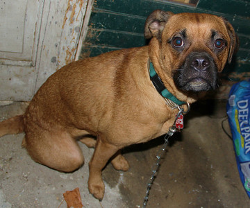 Found Boxer, West Broad Street, Tamaqua (11-30-2012)