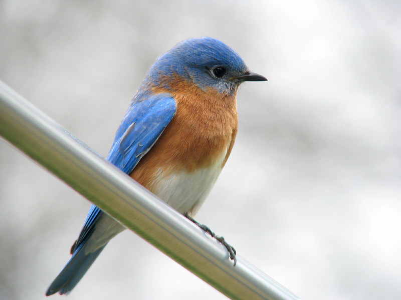 Bluebird_Mr.B_0881.jpg