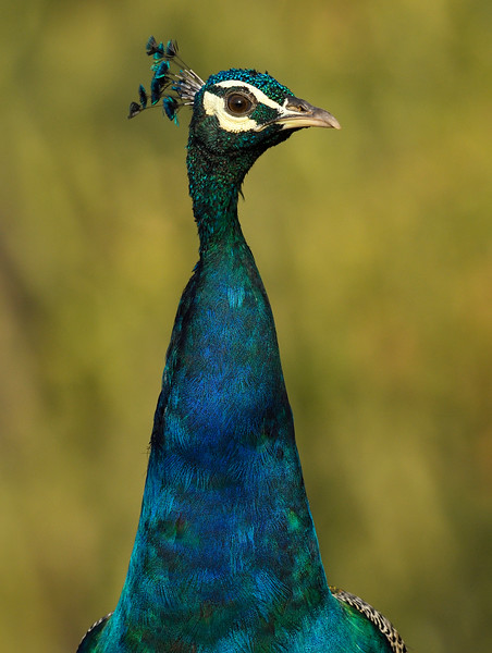 Peafowl-portrait-hampi.jpg