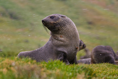 Antarctic Fur Seal pups, South Georgia Island.