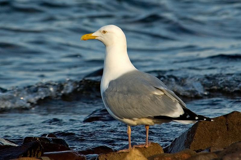 Gull - Herring - Grand Marais, MN - 02